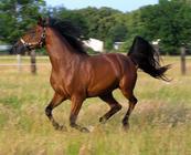 vad heter häst på latin